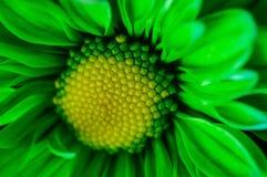 I camomiles luminosi si chiudono su Fotografie Stock