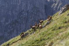 I camosci radunano nelle montagne carpatiche, fagaras Immagini Stock