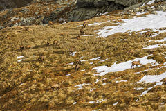 I camosci (rupicapra rupicapra) radunano, mangiando l'erba Fotografie Stock Libere da Diritti