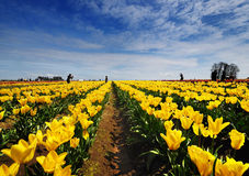 I campi del tulipano dell'Oregon fotografia stock libera da diritti