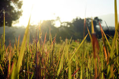 I campi ed il sole di erba ray al fondo di mattina Fotografie Stock Libere da Diritti