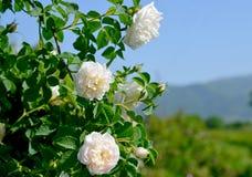I campi rosa famosi nella valle di Thracian vicino a Kazanlak Fotografia Stock Libera da Diritti