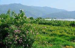 I campi rosa famosi nella valle di Thracian vicino a Kazanlak Immagini Stock