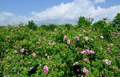 I campi rosa famosi nella valle di Thracian vicino a Kazanlak Fotografia Stock