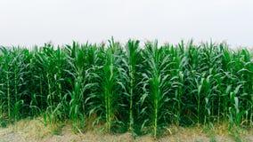 I campi verdi del cereale abbelliscono all'aperto i campi di mais del fondo Immagini Stock