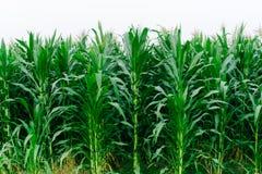 I campi verdi del cereale abbelliscono all'aperto i campi di mais del fondo Fotografie Stock Libere da Diritti