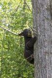 I can climb. Black bear cub climbing up a tree Royalty Free Stock Image