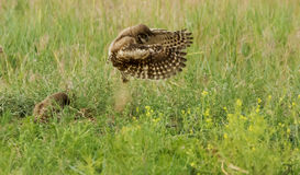 I can fly, I can fly!!. I can fly, I can fly, as the young Burrowing Owlet takes to the air Stock Photo