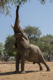 I can reach. African Elephant bull reaching up to grab branch Royalty Free Stock Photo