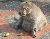 I can't eat any more. Fat makaka monkey with food stock photos