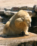 I Can't Hear You. Polar Bear scratching Royalty Free Stock Image