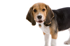 I can talk. Cute young beagle looking as if he is saying something Stock Photo