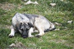 I cani, cani, cani, ritratto insegue le immagini, cani nelle razze differenti, cani di menzogne, giocando i cani, immagini dei ca Fotografie Stock Libere da Diritti