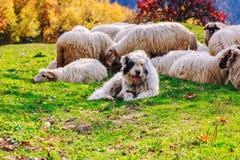 I cani custodicono le pecore sul pascolo della montagna Immagini Stock Libere da Diritti