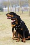 I cani di asheng Fotografia Stock