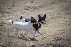 I cani giocano con il bastone fotografie stock libere da diritti