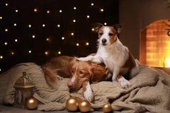 I cani Nova Scotia Duck Tolling Retriever e Jack Russell Terrier Christmas condiscono 2017, nuovo anno Fotografia Stock