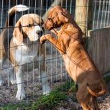 Cani che accolgono Fotografie Stock Libere da Diritti