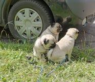 I cani si avvicinano alla ruota dell'automobile Fotografia Stock Libera da Diritti