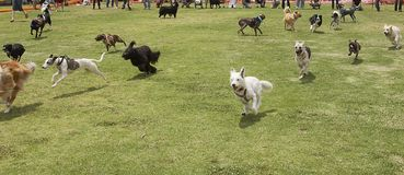 I cani sono allentati Fotografie Stock Libere da Diritti