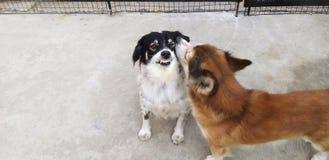 I cani stanno giocando fotografia stock libera da diritti
