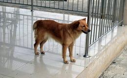 I cani tailandesi stanno stando sul pavimento del cemento immagine stock libera da diritti