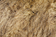 I capelli del cammello Immagine Stock
