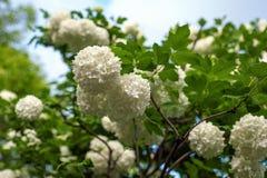I capolini cinesi di viburno della palla di neve sono nevosi Fioritura dei fiori bianchi bei nel giardino di estate fotografia stock libera da diritti