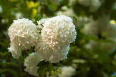 I capolini cinesi di viburno della palla di neve sono nevosi Fioritura dei fiori bianchi bei nel giardino di estate immagine stock libera da diritti