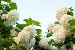 I capolini cinesi di viburno della palla di neve sono nevosi Fioritura dei fiori bianchi bei nel giardino di estate immagini stock