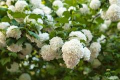 I capolini cinesi di viburno della palla di neve sono nevosi Fioritura dei fiori bianchi bei nel giardino di estate fotografia stock