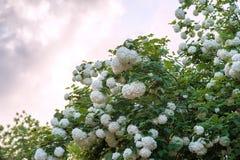 I capolini cinesi di viburno della palla di neve sono nevosi Fioritura dei fiori bianchi bei nel giardino di estate fotografie stock libere da diritti