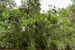 I cappelli sull'albero nell'alligatore dei terreni paludosi coltivano, Florida Immagini Stock Libere da Diritti