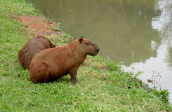 I Capybaras si avvicinano al lago Fotografia Stock