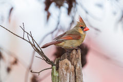 I cardinalis nordici femminili di Cardinalis del cardinale si siede sull'albero Fotografia Stock