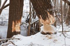 I castori dell'albero rosicchiano l'inverno Fotografie Stock