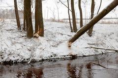 I castori dell'albero rosicchiano l'inverno Fotografia Stock Libera da Diritti