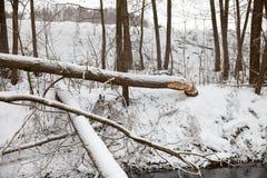 I castori dell'albero rosicchiano l'inverno Fotografie Stock Libere da Diritti
