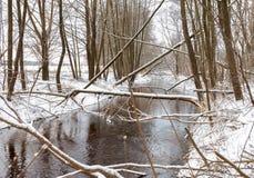 I castori dell'albero rosicchiano l'inverno Fotografia Stock