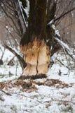 I castori spessi dell'albero rosicchiano immagine stock