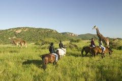 I cavalieri della femmina a cavallo montano i cavalli nella mattina vicino alla giraffa masai alla tutela della fauna selvatica d Immagini Stock Libere da Diritti