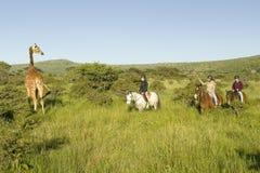 I cavalieri della femmina a cavallo montano i cavalli nella mattina vicino alla giraffa masai alla tutela della fauna selvatica d Immagine Stock
