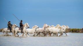 I cavalieri sul cavallo bianco guida i cavalli attraverso l'acqua Fotografia Stock Libera da Diritti