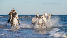 I cavalieri sul cavallo bianco guida i cavalli attraverso l'acqua Immagini Stock Libere da Diritti