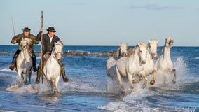 I cavalieri sul cavallo bianco guida i cavalli attraverso l'acqua Immagini Stock
