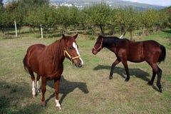 I cavalli Fotografia Stock Libera da Diritti