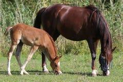I cavalli arabi che mangiano l'estate di verde di erba verde pascolano Fotografie Stock