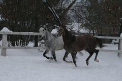 I cavalli arabi funziona contemporaneamente nella neve nel recinto chiuso immagine stock