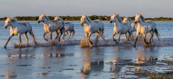 I cavalli bianchi di Camargue funzionano nella riserva naturale delle paludi camargue de parc regionale france La Provenza fotografie stock