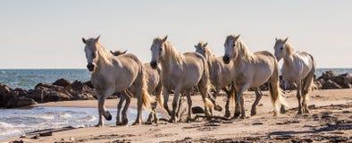 I cavalli bianchi di Camargue scorrono lungo la sabbia camargue de parc regionale france La Provenza fotografie stock libere da diritti